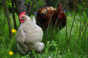 Frühstücks Pension Gästehof Fehrmann frische Eier von glücklichen Hühnern