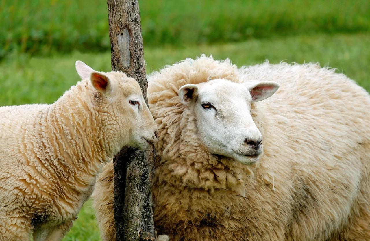 Gästehof Fehrmann Mutter-Schaf mit Lamm