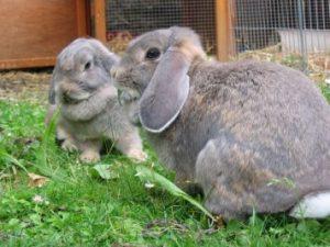 perlfeh-widder-kaninchen
